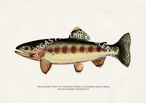 Fine art print of the Golden Trout of Volcano Creek, California (Adult Male) Salmo-Gilberti-Roosevelti by H H Leonard (1914)