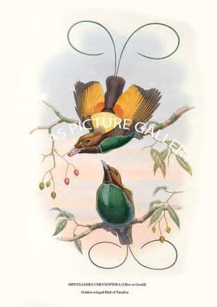 GOLDEN-WINGED BIRD OF PARADISE - diphyllodes chrysoptera (elliot or gould)