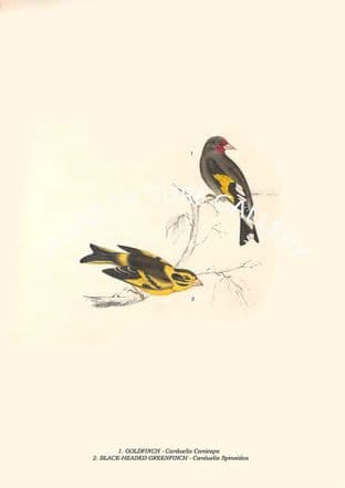 GOLDFINCH - Carduelis Caniceps, BLACK-HEADED GREENFINCH  - Carduelis Spinoides