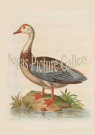 Goose, Blue-Winged