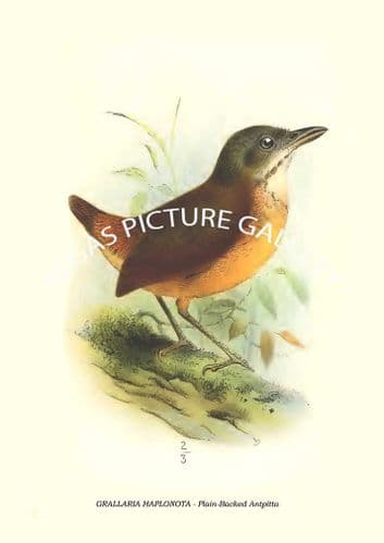 GRALLARIA HAPLONOTA - Plain-Backed Antpitta