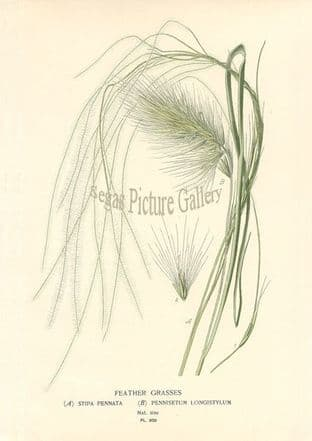 Grasses, Feather