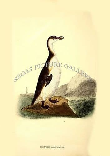 GREAT AUK - Alca Impennis