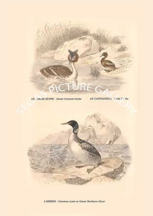 Great Crested Grebe, Little Grebe, Common Loon or Great Northern Diver