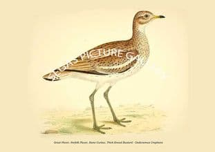 Great Plover, Norfolk Plover, Stone Curlew, Thick-Kneed Bustard - Oedicnemus Crepitans
