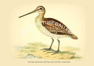 Great Snipe, Solitary Snipe, Double Snipe, Ysnid, of the Welsh - Scolopax Major
