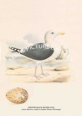 GREATER BLACK BACKED GULL - Larus Marinus, Adult in Perfect Winter Plummage
