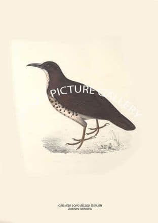 GREATER LONG-BILLED THRUSH - Zoothera Monticola