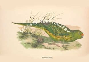 Green Ground Parrot