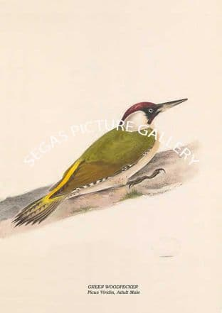 GREEN WOODPECKER - Picus Viridis, Adult Male