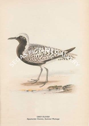 GREY PLOVER - Squatarola Cinerea, Summer Plumage