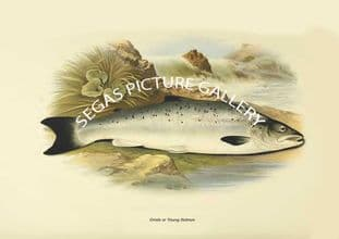 Grisle or Young Salmon