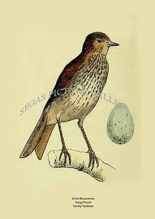 Grive Musicienne - Song Thrush -  Family Turdidae