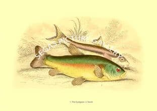 Gudgeon  -Tench