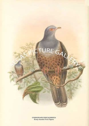 GYMNOPHAPS POECILORRHOA - Rusty-banded Fruit-Pigeon