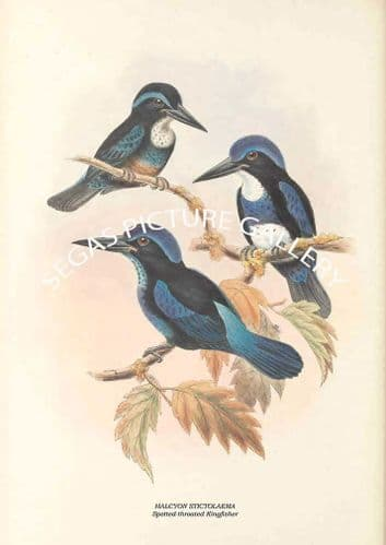 HALCYON STICTOLAEMA - Spotted-throated Kingfisher