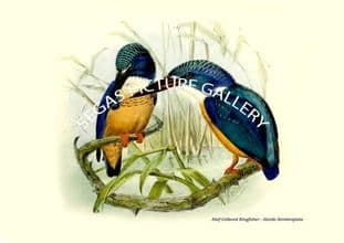 Half-Collared Kingfisher - Alcedo Seniitorqiiata