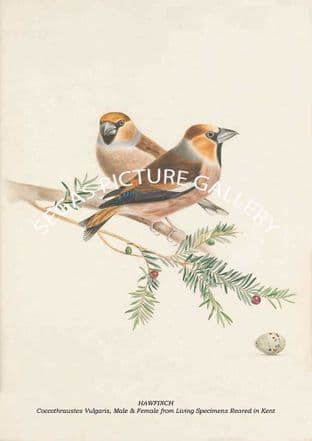 HAWFINCH - Coccothraustes Vulgaris, Male & Female from Living Specimens Reared in Kent