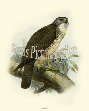 Hawk, Hawaiian by Joseph Smit (1860)