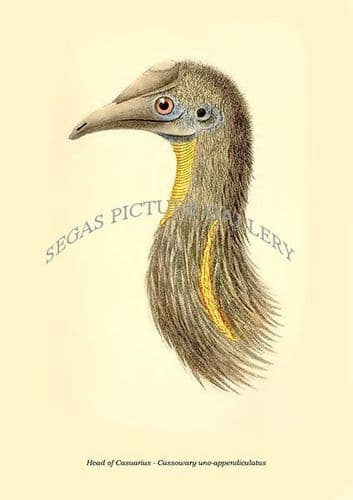 Fine art print of the Head of Casuarius - Cassowary Uno-Appendiculatus by Philip Lutley Sclater (1859 to 1862) reproduced by Segas Picture Gallery.<br />Open Edition