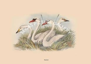 Heads of Swans