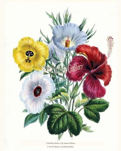 Fine art print of the Military Hibiscus, Mr. Cameron's Hibiscus, Lilac Hibiscus, Palmate Manihot by Mrs Webb Loudon