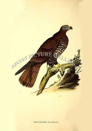 HONEY BUZZARD - Falco Apivorus