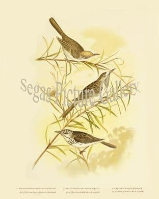Honey-Eater, Fulvous-Fronted (Glyciphila Fulvifrons)
