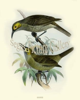 Honeyeater, Kadavu by Joseph Smit (1860)