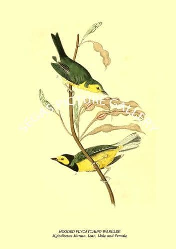 HOODED FLYCATCHING-WARBLER - Myiodioctes Mitrata, Lath, Male and Female