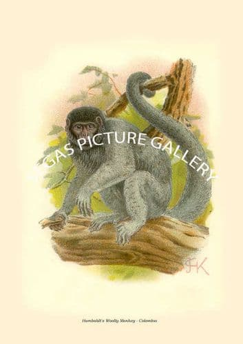 Humboldt's Woolly Monkey - Colombia