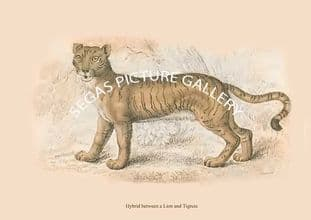 Hybrid between a Lion and Tigress