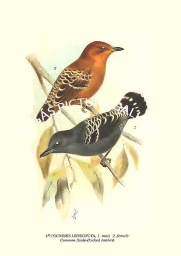 HYPOCNEMIS LEPIDONOTA - Common Scale-Backed Antbird