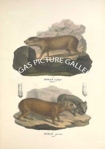 Fine art print of the HYRAX ruficeps by Friderici Guilelmi Hemprich (1828)