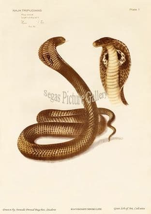 Indian cobra, King Cobra, Naja tripudianus var. Khoya Gokurrah
