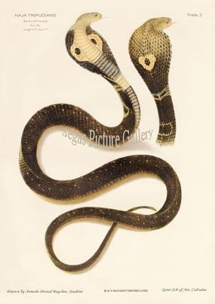 Indian cobra, Naja tripudianus var. Bans-bunnia Keautiah