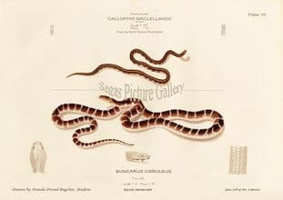 Indian Krait. Common krait, Bungarus caeruleus, Callophis macclellandii