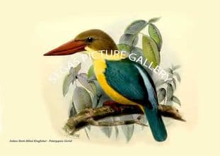 Indian Stork-Billed Kingfisher - Pelargopsis Gurial