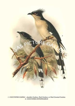 Jacobin Cuckoo, Pied Cuckoo, or Pied Crested Cuckoo, Jacobin Cuckoo, Pied Cuckoo, Or Pied Crested