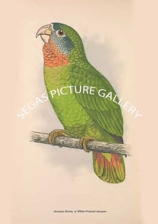 Jamaica Parrot, or White-Fronted Amazon