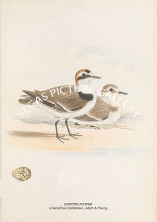 KENTISH PLOVER - Charadrius Cantianus, Adult & Young
