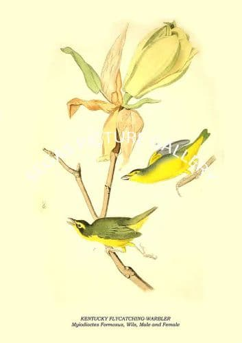 KENTUCKY FLYCATCHING-WARBLER - Myiodioctes Formosus, Wils, Male and Female
