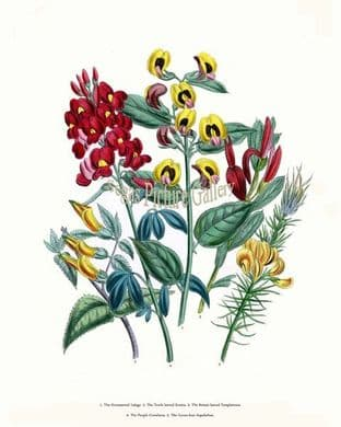 Lalage, Ornamental; Tooth-leaved Scottia