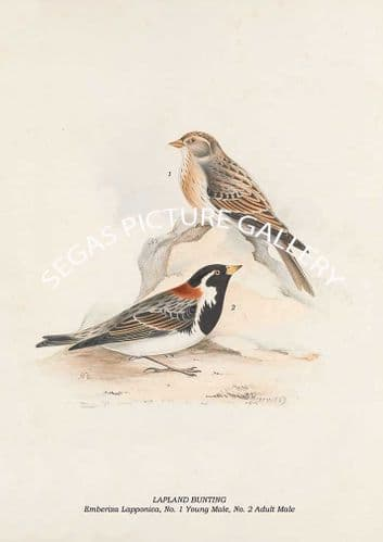 LAPLAND BUNTING - Emberiza Lapponica, No. 1 Young Male, No. 2 Adult Male