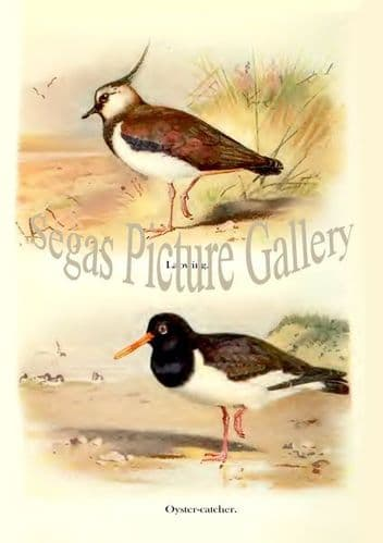 Lapwing & Oyster-catcher