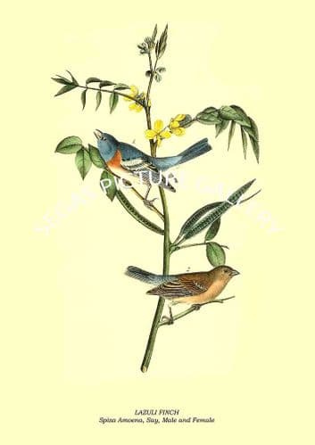 LAZULI FINCH - Spiza Amoena, Say, Male and Female