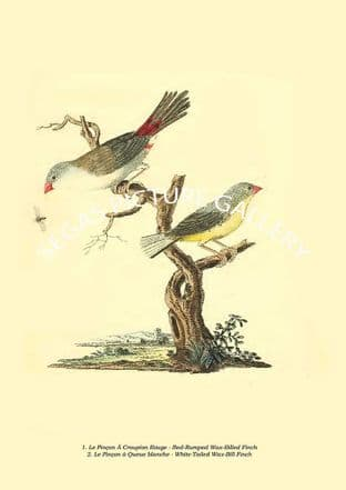 Le Pinçon À Croupion Rouge - Red-Rumped Wax-Billed Finch, White-Tailed Wax-Bill Finch
