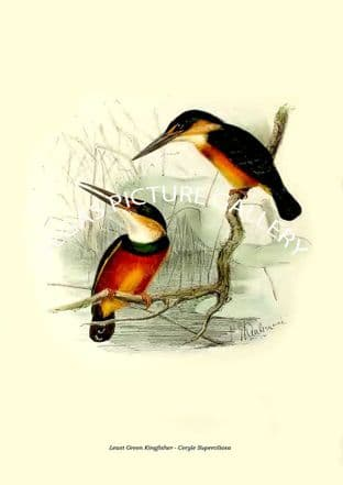 Least Green Kingfisher - Ceryle Superciliosa