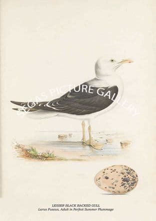 LESSER BLACK BACKED GULL - Larus Fuscus, Adult in Perfect Summer Plummage