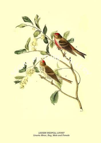 LESSER REDPOLL LINNET - Linaria Minor, Ray, Male and Female